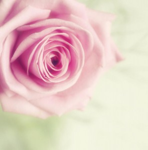 pale-pink-rose-samantha-nicol-art-photography